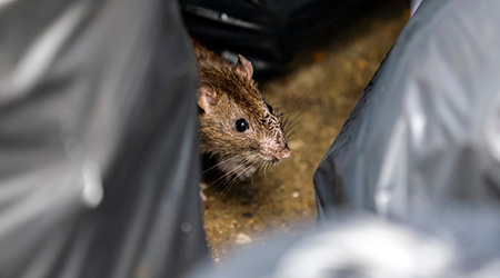 One wet brown mice Emerging among the black garbage bags on the damp wet area with dark eyes
