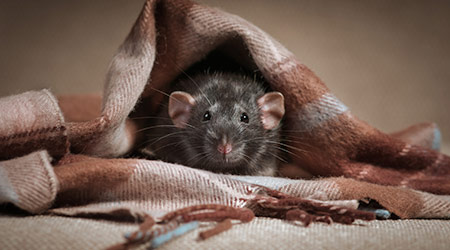 Rat, wrapped in a scarf