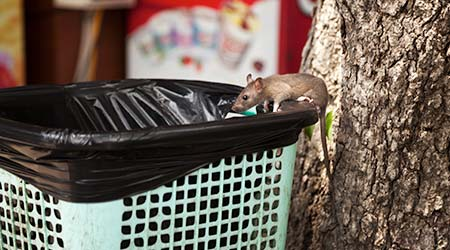 Young city rat searching for food in an outdoor cafe trash bin