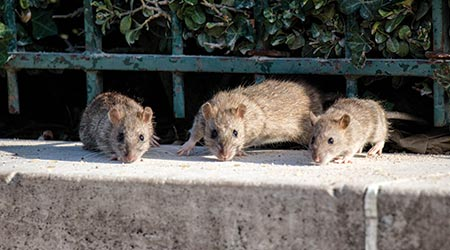 rats looking for food source in a city