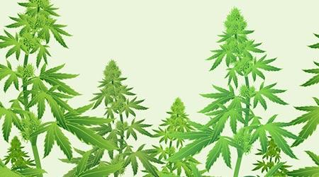 Vector image of marijuana leaves