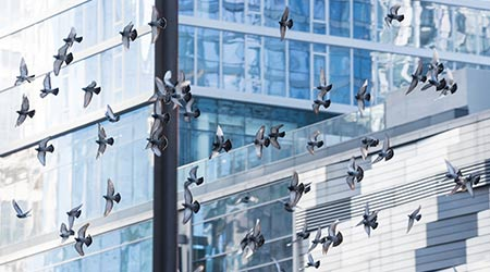 Many pigeons flying through a Chicago street