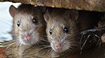Two cute and curious Brown Rats looking of the cover