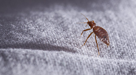 Bed bug Cimex lectularius on bed sheet
