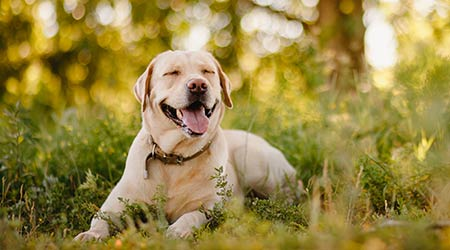 Active, smiling and happy purebred labrador retriever dog outdoors in grass park on sunny summer day.